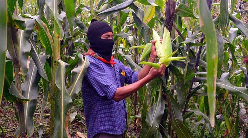 Dans le champ de maïs